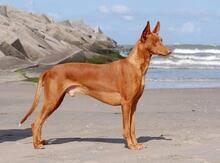 Собаки » породы » фараонова собака