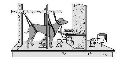 ᐉ собака павлова: что это такое, суть экспериментов и опытов, теория обусловливания - kcc-zoo.ru