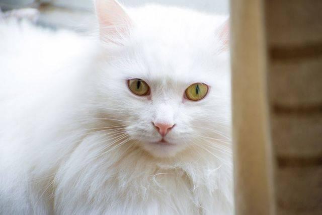 Порода кошек турецкая ангора – история происхождения и особенности ухода