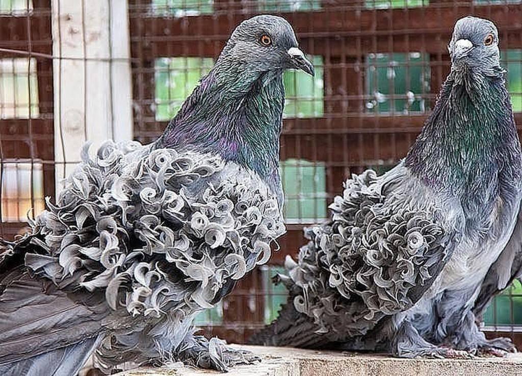 Знакомимся с торцовыми голубями