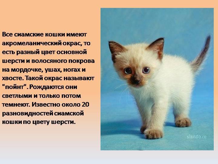 Кошка гавана браун: описание ориентальной породы
