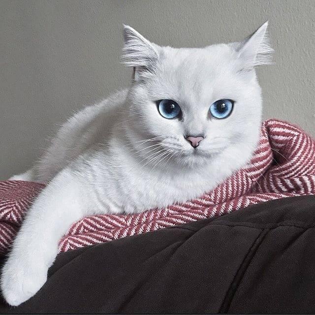 Порода кота коби с красивыми глазами голубого цвета: описание питомца