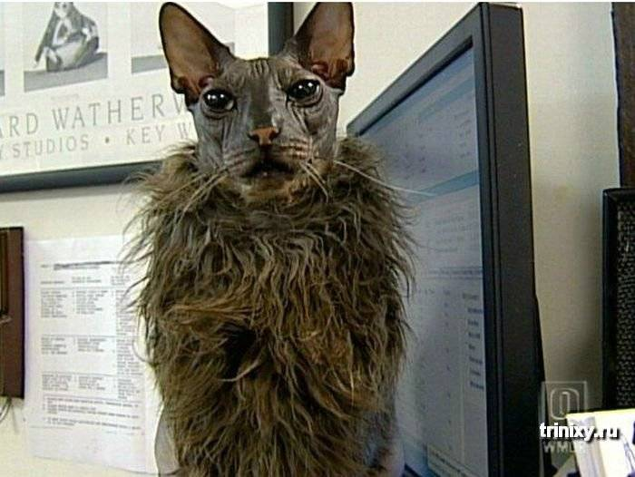 Самые страшные кошки: бесшерстные, нестандартные, топ 5 пород
