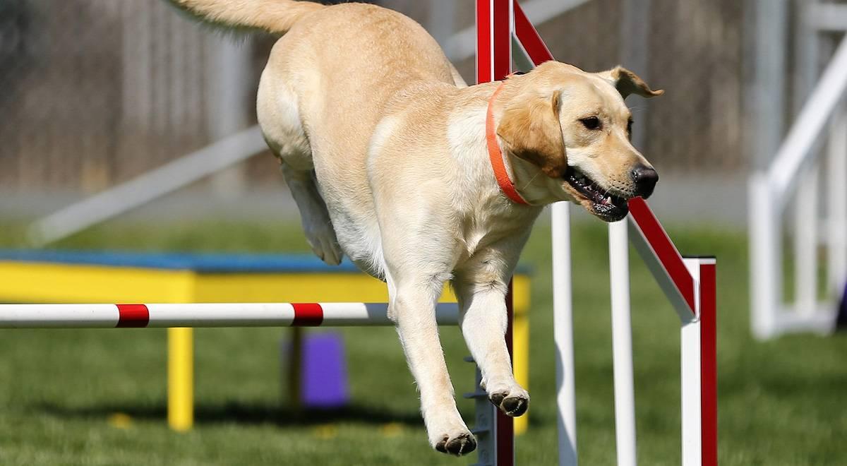 Что такое аджилити? описание, особенности и правила аджилити   животный мир