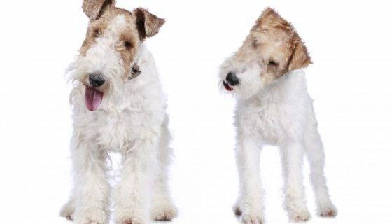 Порода собак гладкошерстный фокстерьер: фото, видео, описание породы и характер