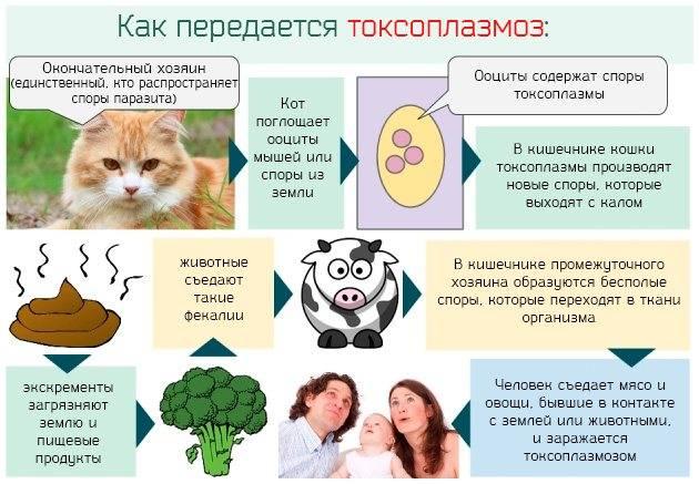 Токсоплазмоз кошек: ? симптомы, признаки, диагностика, лечение