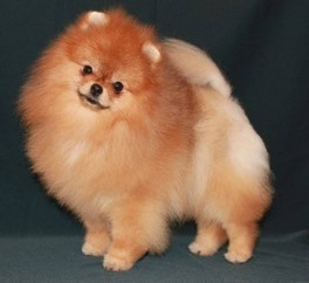 Чем отличается померанский шпиц от немецкого: фото собак, их черты характера и сравнение требований к уходу