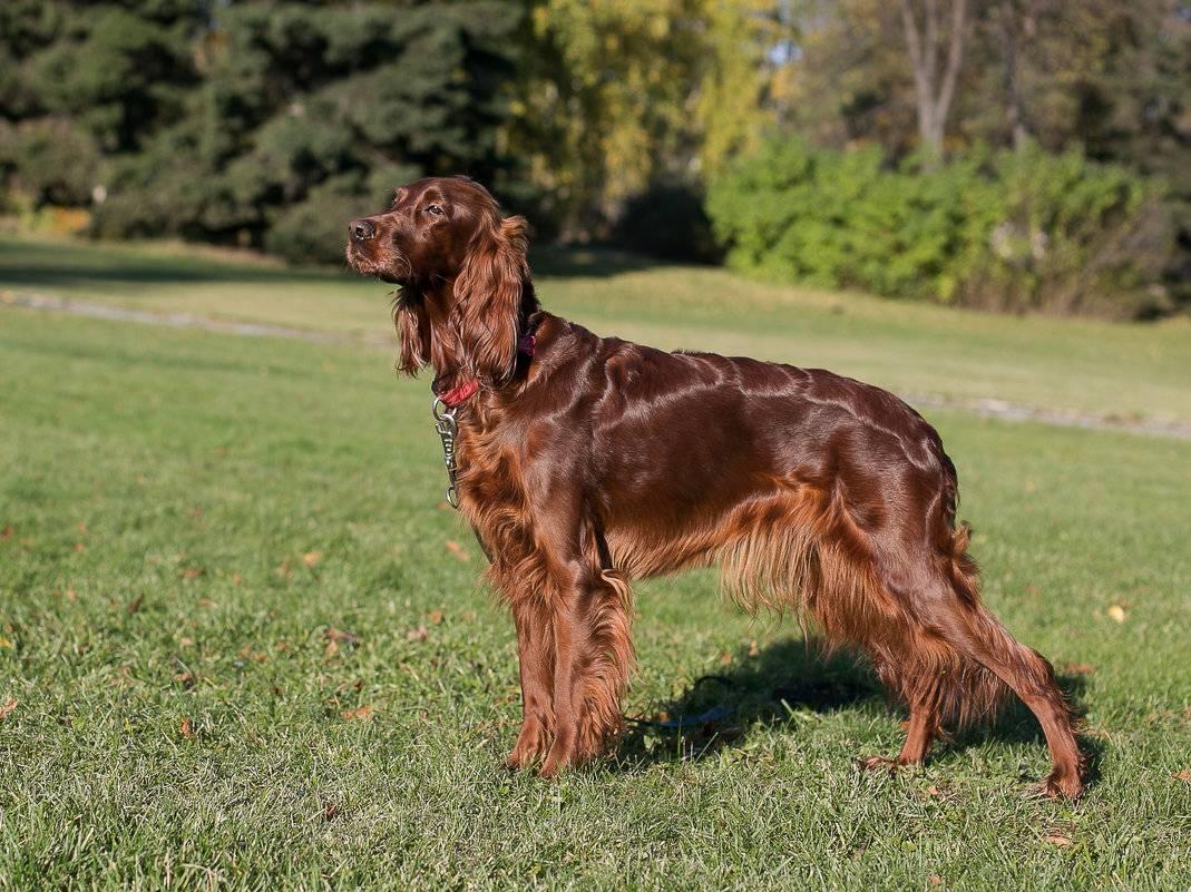 Ирландский сеттер: описание породы, советы по содержанию собак и отзывы владельцев