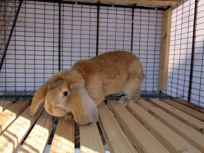 Кролик вислоухий баран: декоративная французская порода