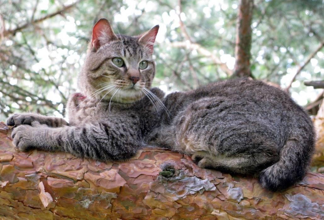 Кошка пиксибоб: описание породы, особенности ухода