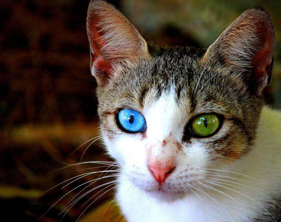Давайте поговорим о кошках с разноцветными глазами или гетерохромия у кошек - здоровье кошек 2020