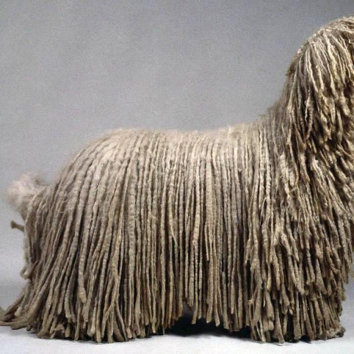 Собаки с волосами вместо шерсти: особенные породы с большими запросами