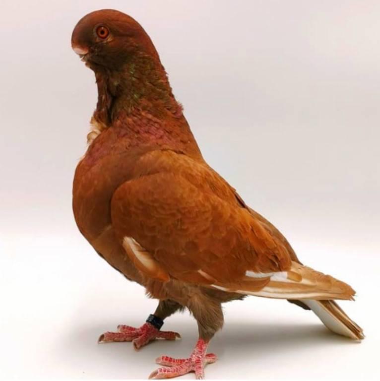 8 пород голубей, которые выглядят как райские птички и стоят неимоверно дорого