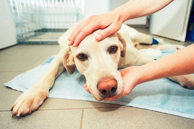 У собаки опухла щека с одной стороны. отек морды у собак: этиология, симптомы, лечение