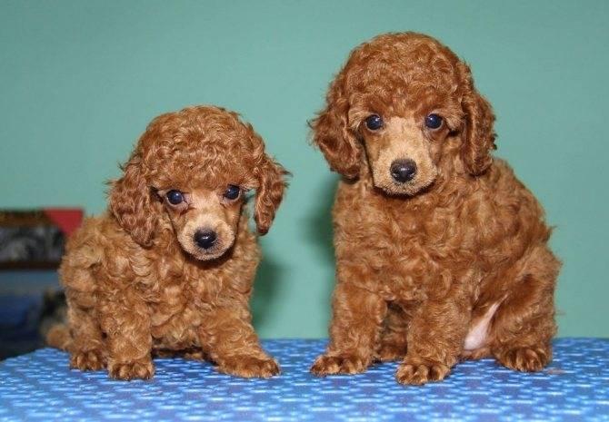 Какие породы собак не подвержены линьке: характеристики пород собак которые не линяют или мало линяют
