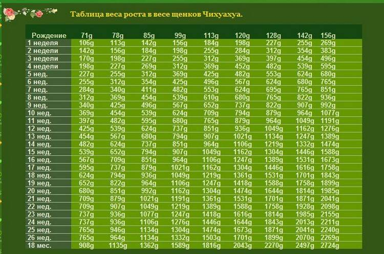 Сколько весит щенок и взрослый чихуахуа: таблица роста и массы по неделям