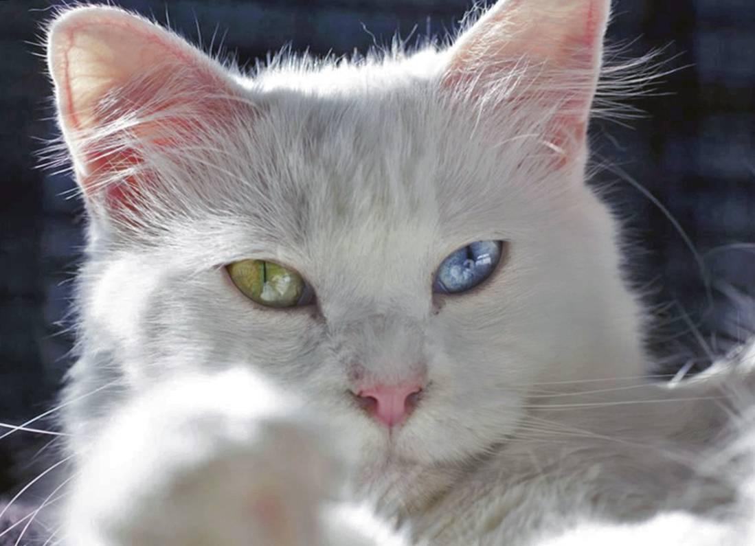 Белая кошка с голубыми глазами: список пород с фото