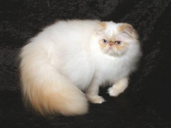 Гималайские кошки: особенности содержания, питания и ухода