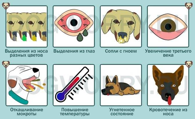 Почему собаки могут чихать и фыркать: что может значить, стоит ли волноваться