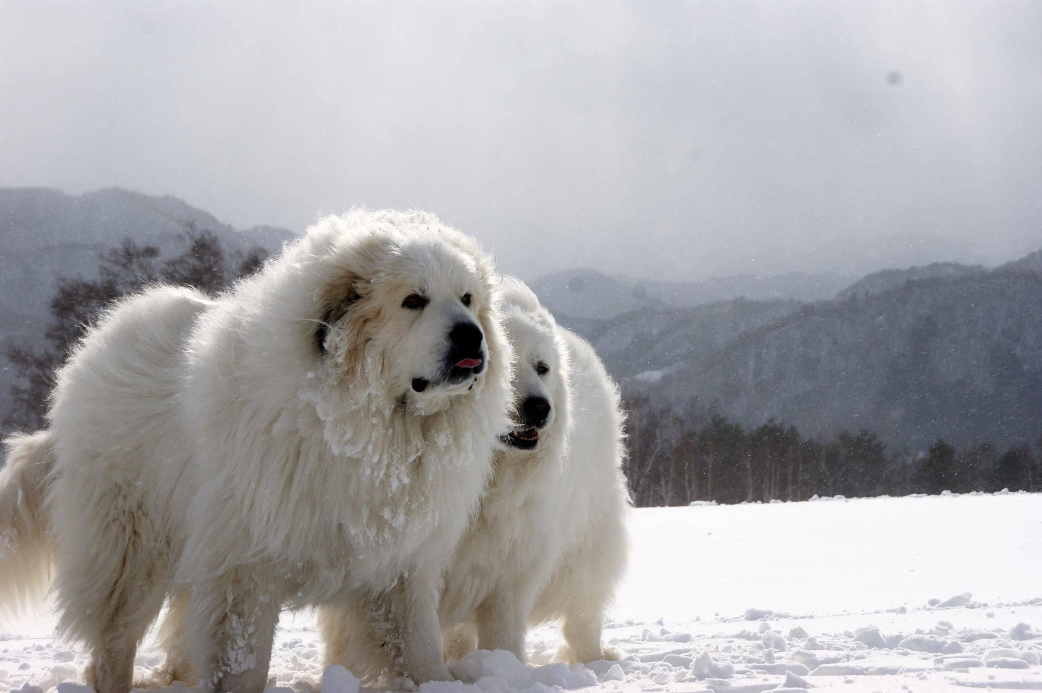 Пиренейская горная собака: описание овчарки