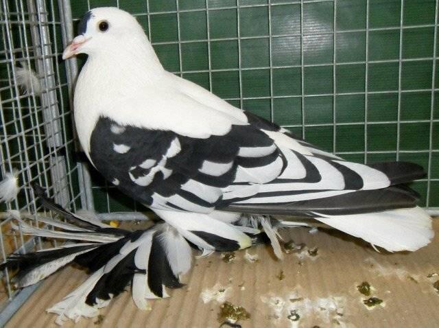Породы голубей: 115 фото, названия, особенности и правила выбора
