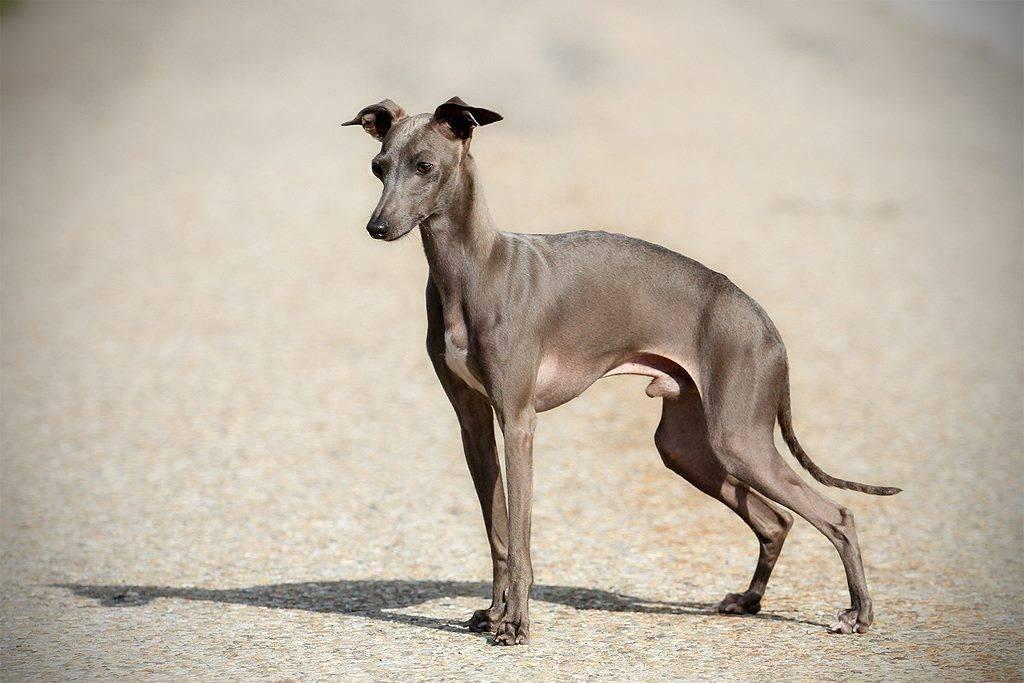 Левретка описание породы: итальянская собака, малая борзая, фото, уход и содержание, стоимость