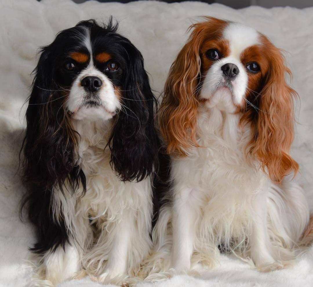 Описание породы собак кавалер-кинг-чарльз-спаниель с отзывами и фото