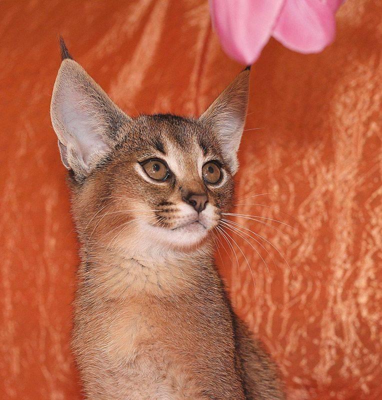 Порода кошек каракет: внешний вид, повадки, особенности содержания и ухода