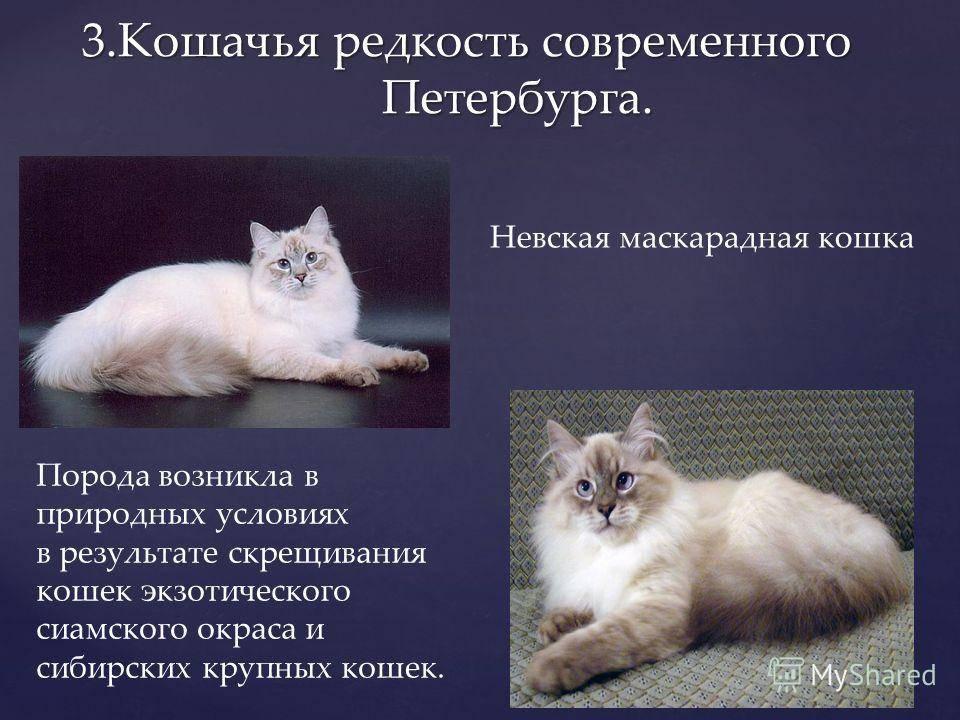 Невская маскарадная кошка: все о породе и уходе за ней