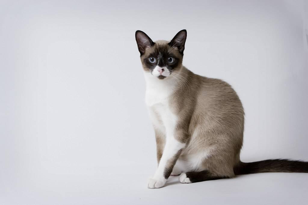 Кошки сноу-шу: фото и видео, цена, описание породы, отзывы владельцев