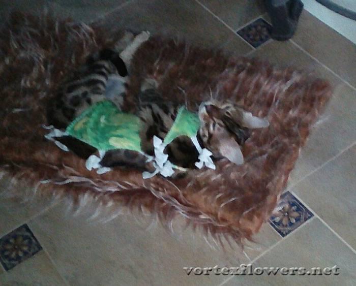 Стерилизация кошки: домашний уход после операции