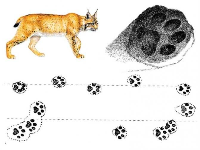 Ошмарин п.г. пикунов д.г. следы в природе. следы ног животных на почве и на снегу. практическая классификация следов ног зверей и птиц