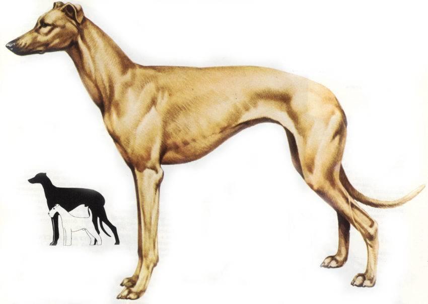 Грейхаунд: собака, способная поймать зайца за пару секунд. левретка: все о самой низкорослой породе в группе борзых