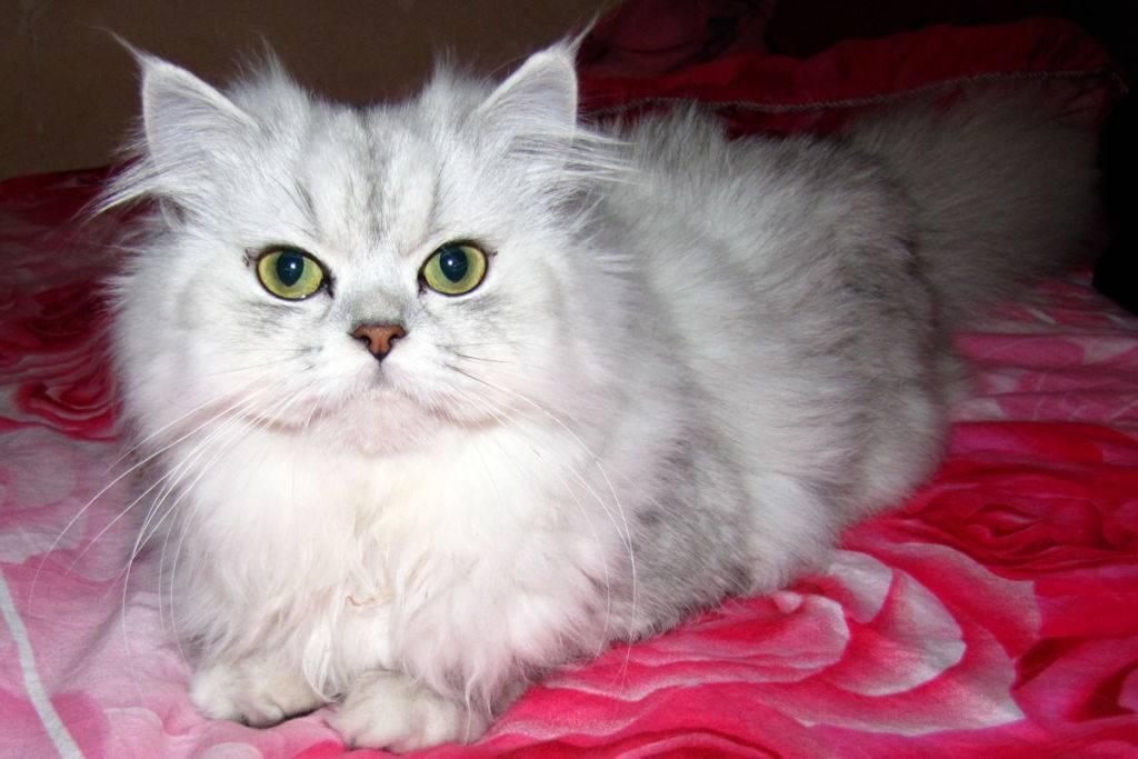 Персидская шиншилла – великолепная кошка для дома