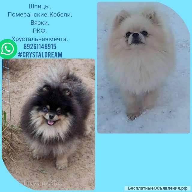 Порода собак померанский шпиц: описание, особенности, характеристики