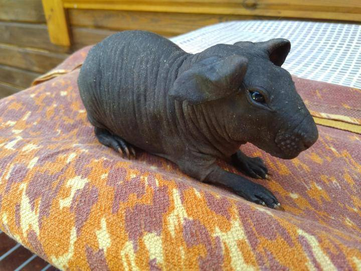 [новое исследование] морская свинка: уход и содержание в домашних условиях для начинающих