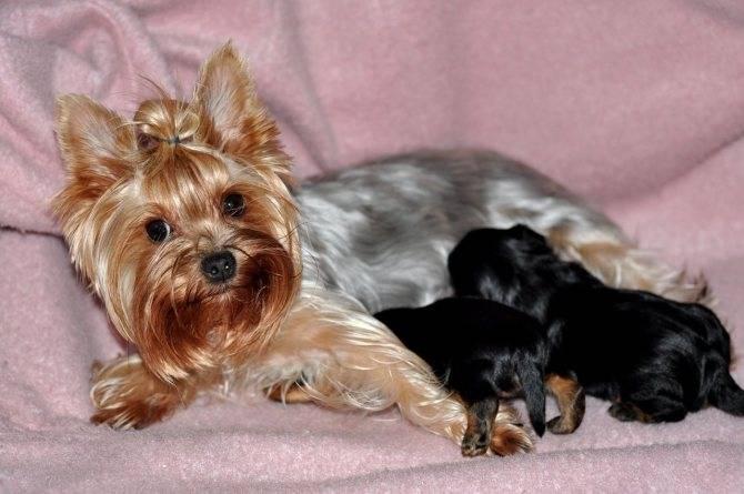 Содержание собаки породы йоркширский терьер: правильный уход и питание в домашних условиях + график прививок