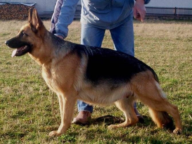 Частота и нормальная продолжительность течки у собаки мелкой и средней породы