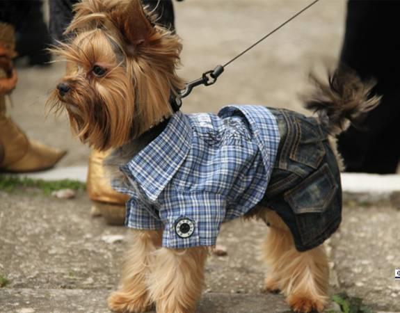 Йоркширский терьер: стандарт и описание породы, как выглядит взрослая собака на фото и сколько живут крупные питомцы и макси