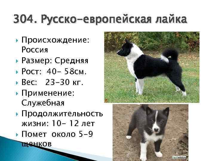 Порода собак русско-европейская лайка: фото, видео, описание породы и характер