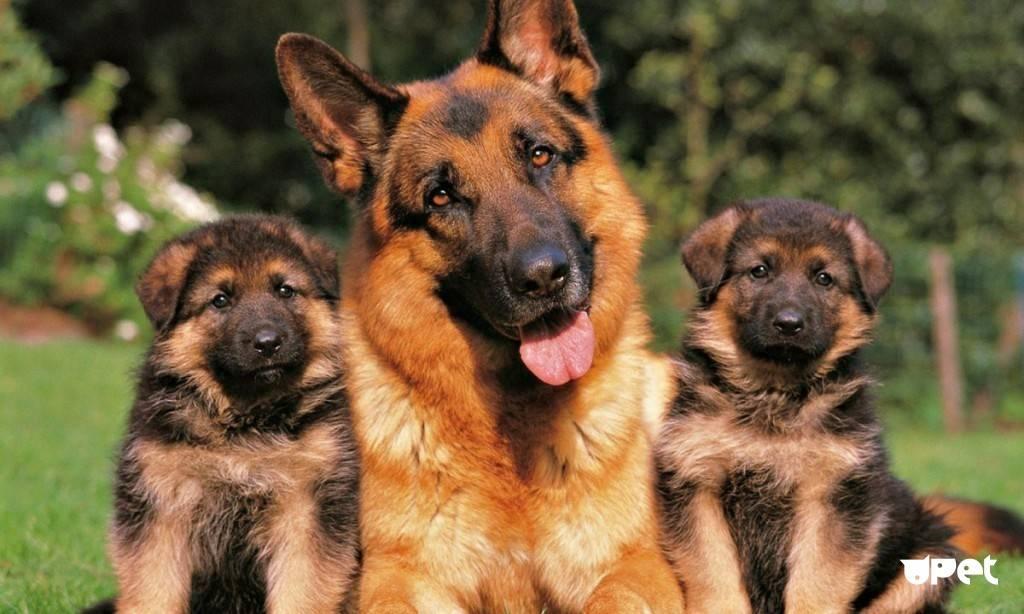 Кормление щенков немецкой овчарки по месяцам: от начала и до года
