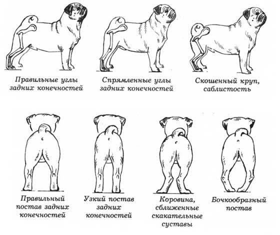 До какого возраста бывает течка у собак, когда заканчивается