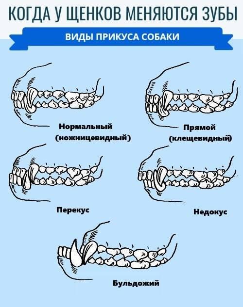 Смена зубов у шпица – когда выпадают молочные клыки, у щенков, аномалии прикуса