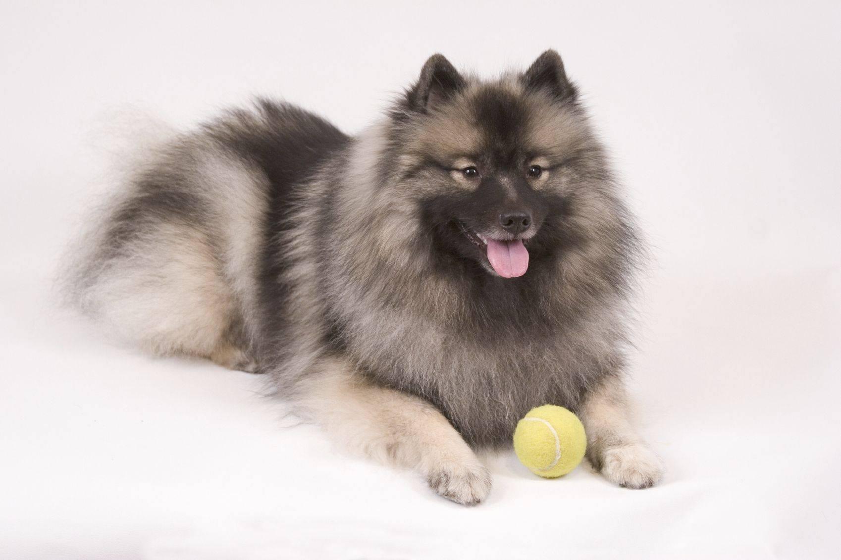 Кеесхонд (вольфшпиц) - описание породы и характер собаки