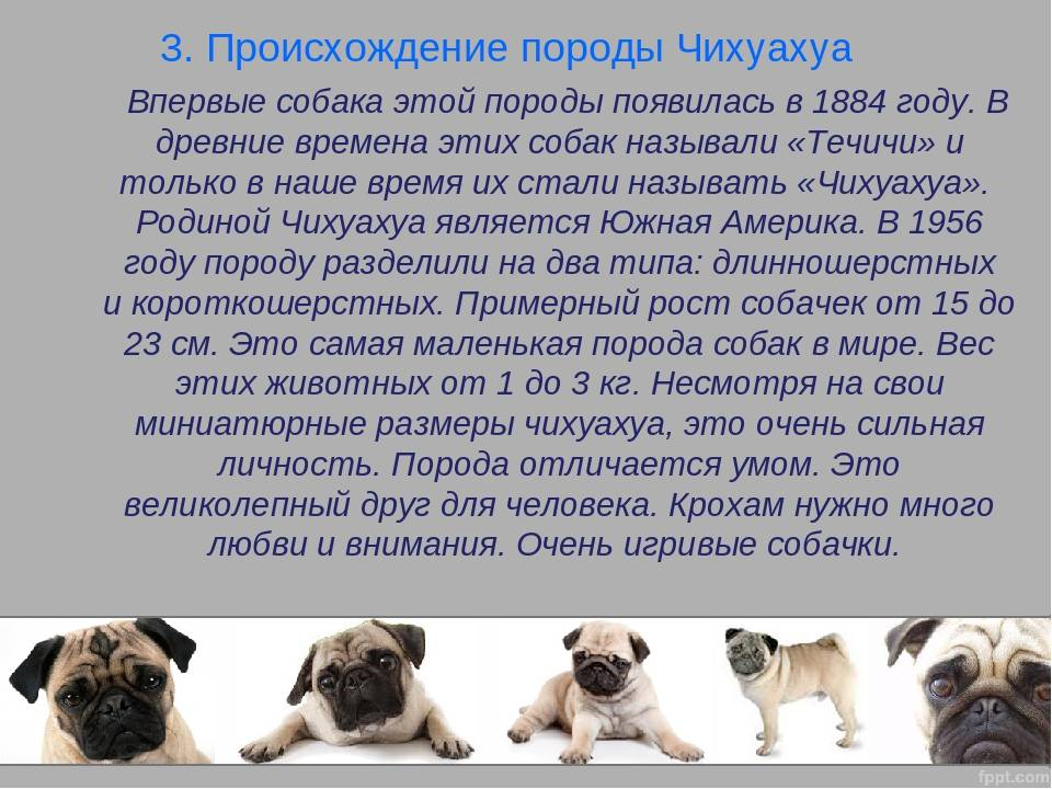 Чихуахуа длинношерстные: основные сведения о породе, стрижка собаки