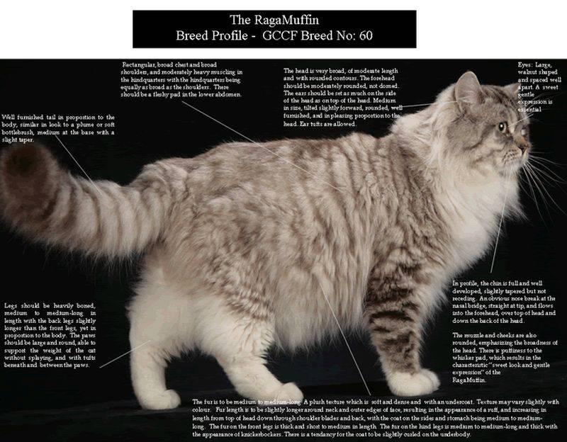 Новая порода кошек рагамаффин