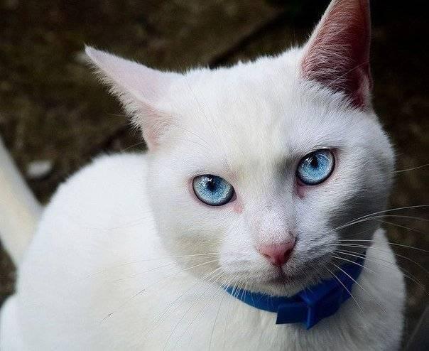 А правда что белые кошки или коты с отклонениями (глухие или слепые)? | полезная информация для всех
