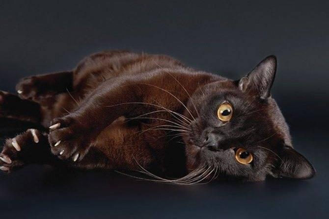 Бурманская кошка-бурма