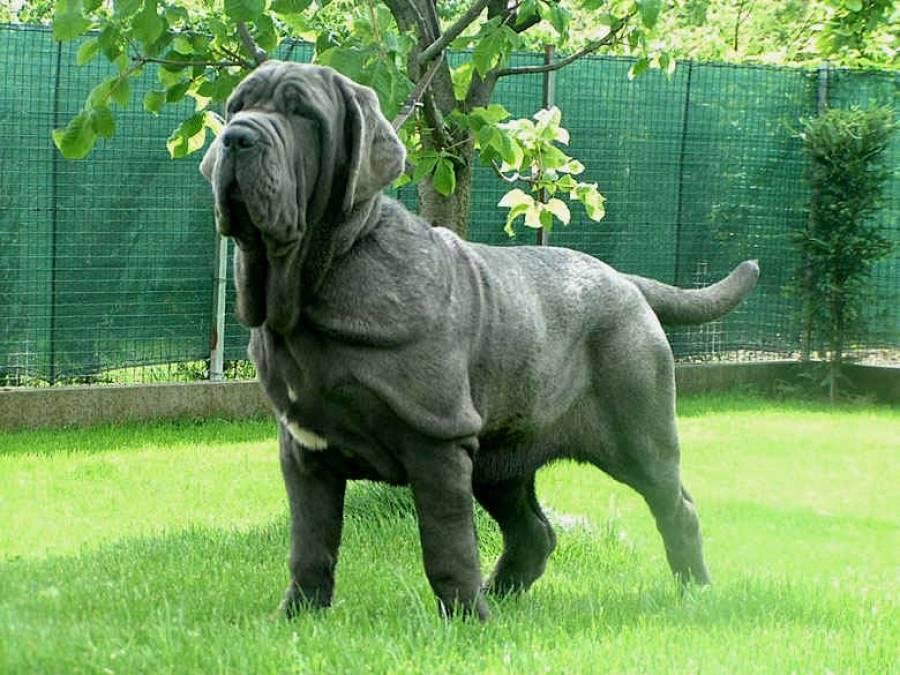 Самые большие собаки: породы с фотографиями и названиями