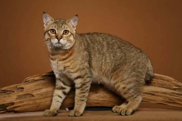Кошки породы пиксибоб: описание, стандарт, характер, где купить, цена